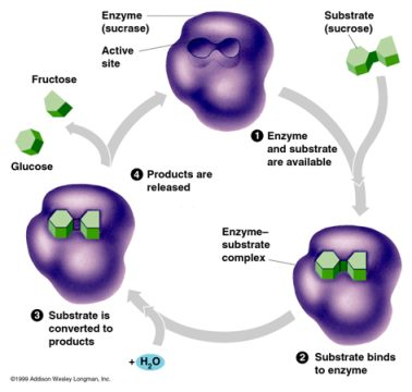 How enzymes work: enzyme catalyst, substrate, end products