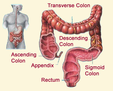 maintain a healthy colon ~ remove parasites, old poop, and ... rectum diagram #2