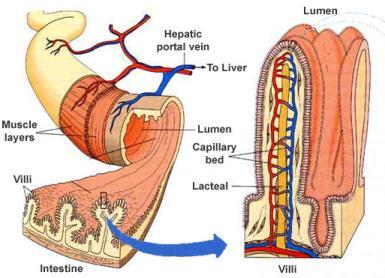 digestive system intestinal villi